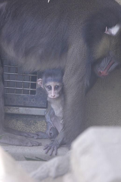 '17.8.20 baby mandrill 3619