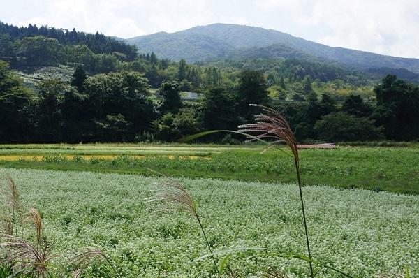 道の駅「風の家」周辺の蕎麦畑
