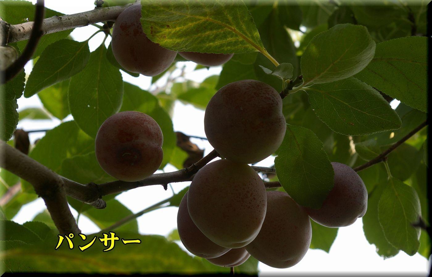 1panser170717.jpg