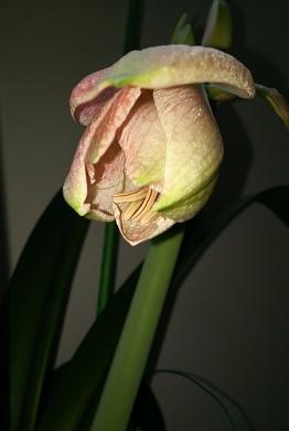 アマリリス H29年5月25日No3