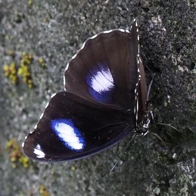 384-リュウキュウムラサキ-2017-05-14宜蘭県-P5143999