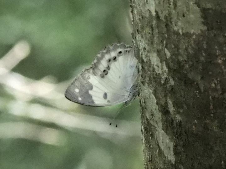 シロタテハ-2017-05-12高雄県-P5122935