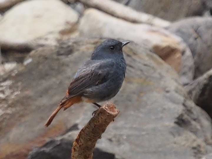 カワビタキ Rhyacornis fuliginosa-2017-05-14宜蘭県-P5140420