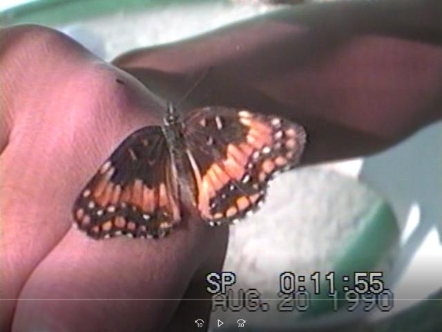 640-カリフォルニアヒョウモンモドキ-USA08-3