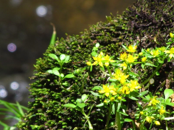 4371黄色い花と丸ぼけ170528.jpg