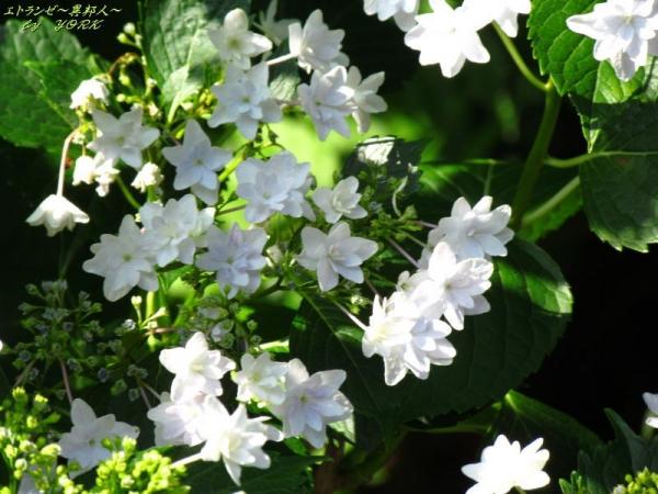 4555白い紫陽花の一種170618