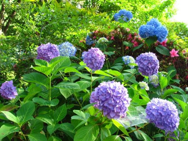 4565長法寺の紫陽花170618