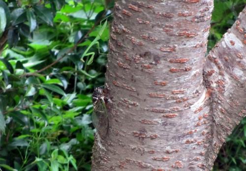 蝉とカマキリ