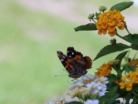 ランタナと蝶