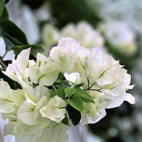 白い色のブーゲンビリア
