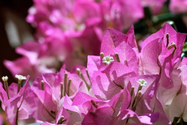 ピンク色のブーゲンビリア