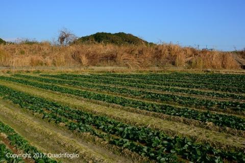 青山農園ほうれん草