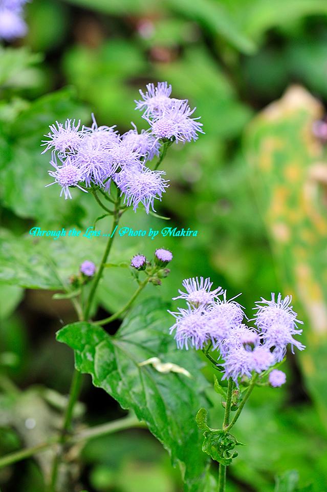 ユーパトリウム(西洋フジバカマ 青色フジバカマ)2