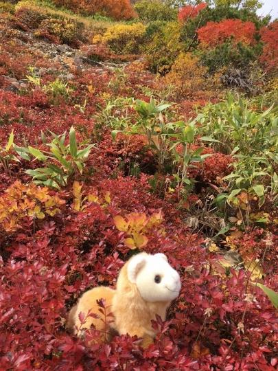s-3てんちゃん紅葉チングルマ花園