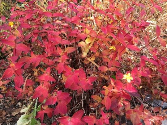 s-6オトギリソウ紅葉と名残花