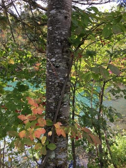 s-7然別湖のツリバナの実と紅葉