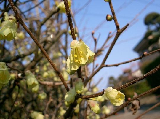 800px-Corylopsis_pauciflora1.jpg