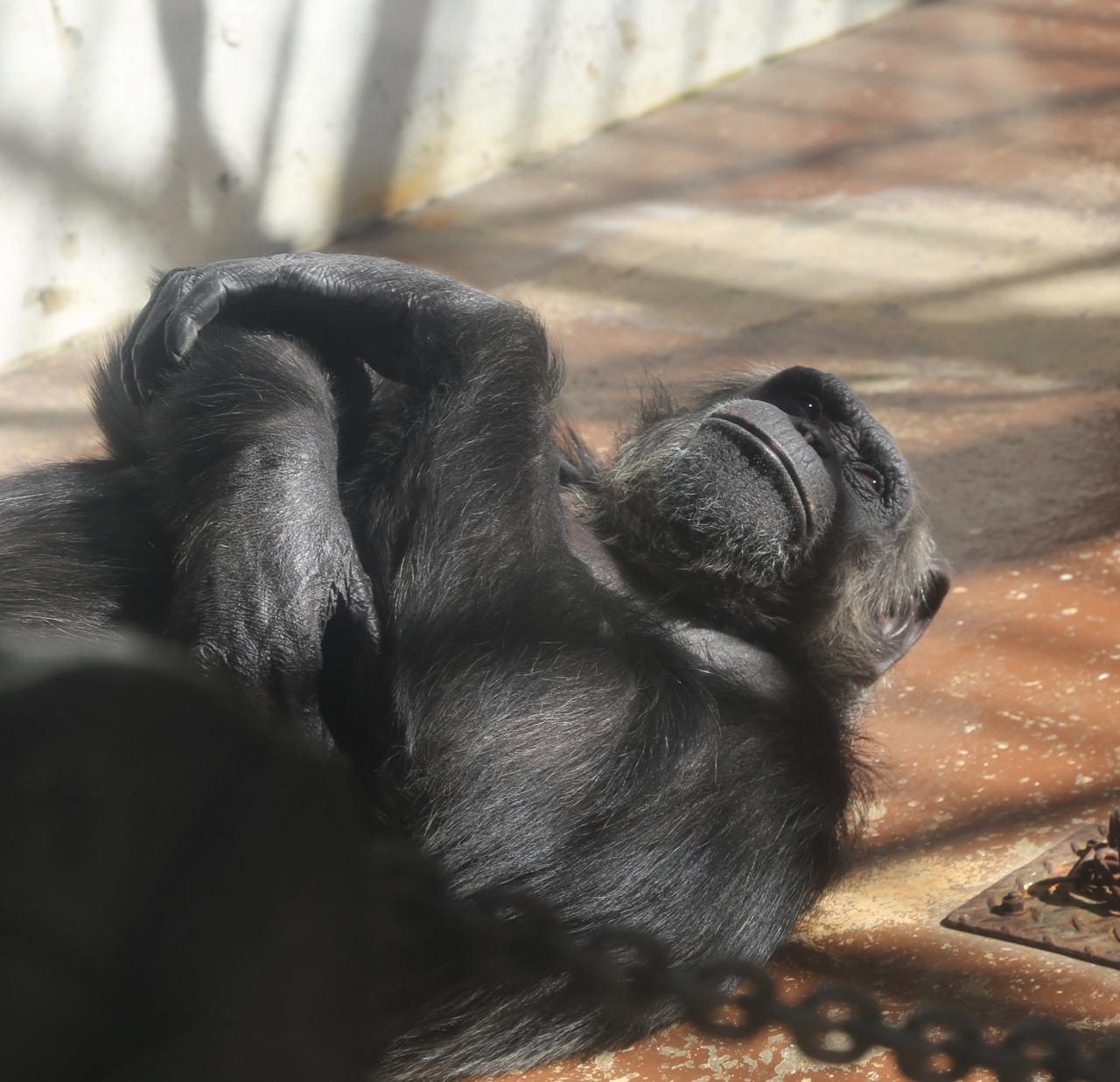 ママ撮影チンパンジーアップ