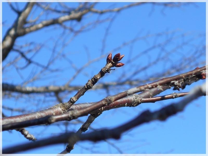 桜のつぼみ 2018年1月13日