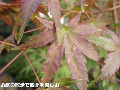 momiji4_20171110100202b89.jpg