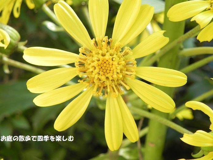 tuwabuki8_20171117175330a5f.jpg