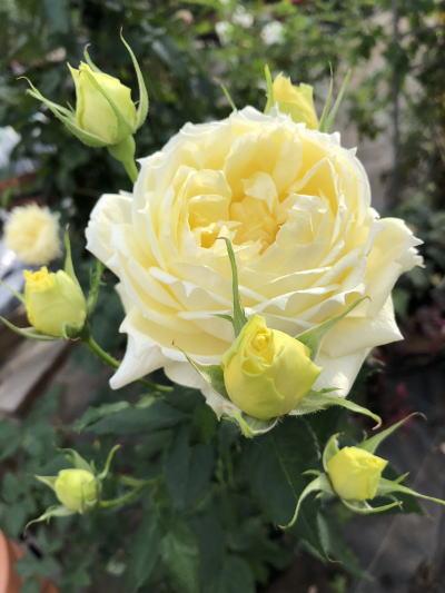 ブログ1208フレッシュレモン