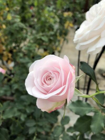 ブログ1208花ぼんぼり1