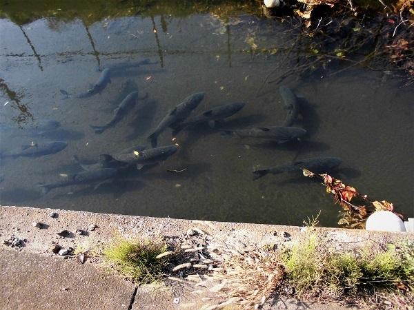 17.11.6 ,見沼用水の鯉ほか (35)