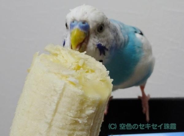 バナナ大好き 空色のセキセイ珠霞