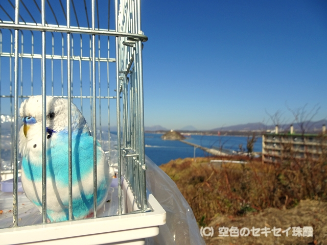 絵鞆岬 空色のセキセイ珠霞