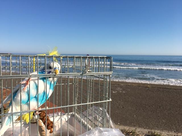 イタンキ浜 室蘭 セキセイインコ 空色のセキセイ珠霞