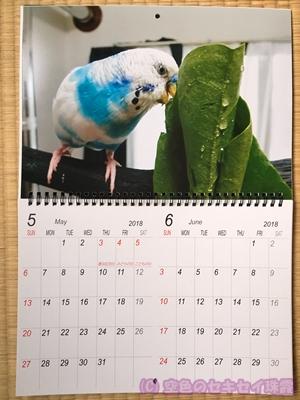 写真で2018年カレンダー 5~6月 空色のセキセイ珠霞