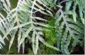 Phlebodium-aureum_thumb[1]