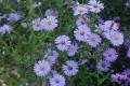 Symphyotrichum_novi-belgii.jpg