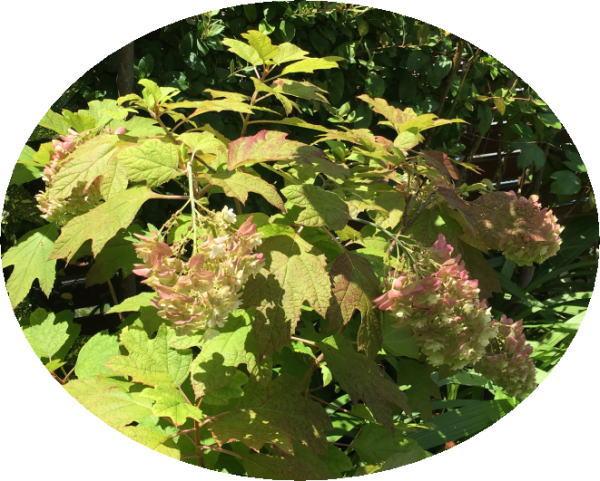 もみの木医院の真夏の紫陽花