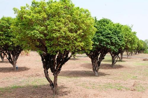 ジャブチカベイラ栽培