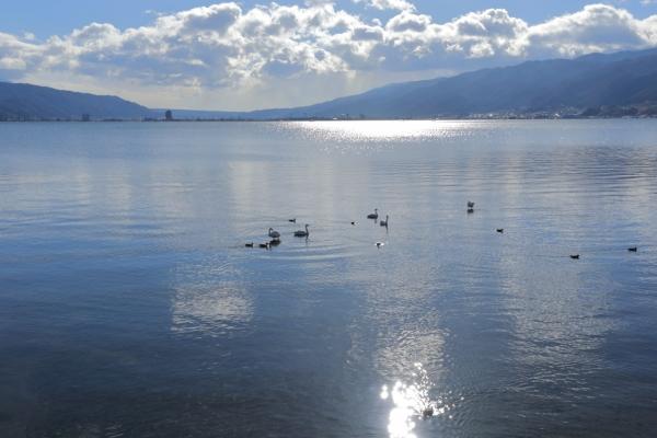 諏訪湖とコハクチョウ