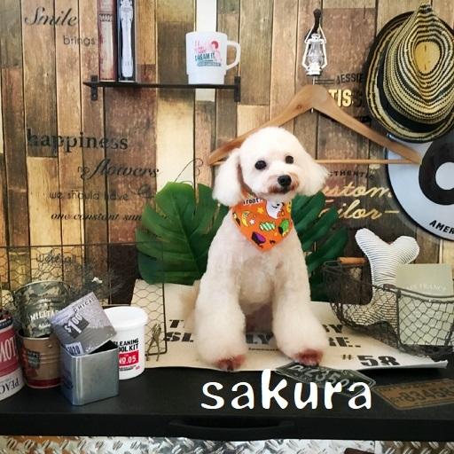 sakura 小松