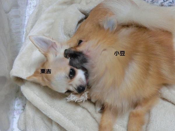 栗吉&小豆 CIMG5648