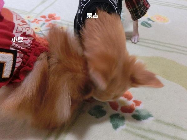 栗吉&小豆 CIMG5670