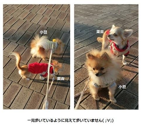 栗吉&小豆 歩いているふり CIMG6023