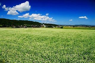 s-畑保内地区のソバ