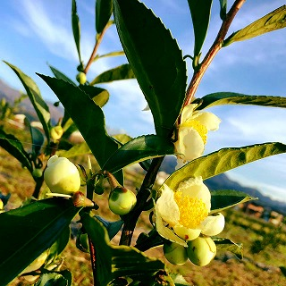 s-バタバタ茶畑の花