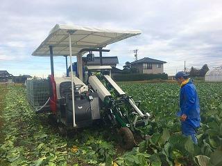 s-宇川農産のキャベツ収獲