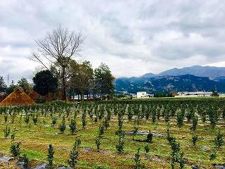 s-なないろ館前のバタバタ茶畑(富春)順調に生育