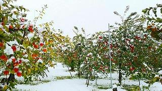s-山形ガールズ農場の雪をかぶったリンゴ