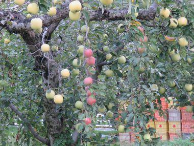 IMG_3370りんご畑