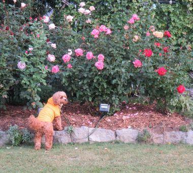 IMG_3429バラ花壇