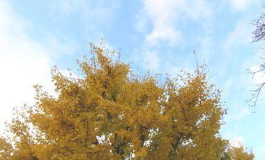 IMG_4813バラ公園銀杏
