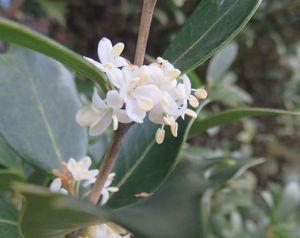 IMG_5061柊の花